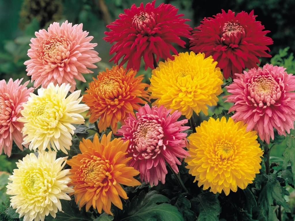 crisantemos-de-colores